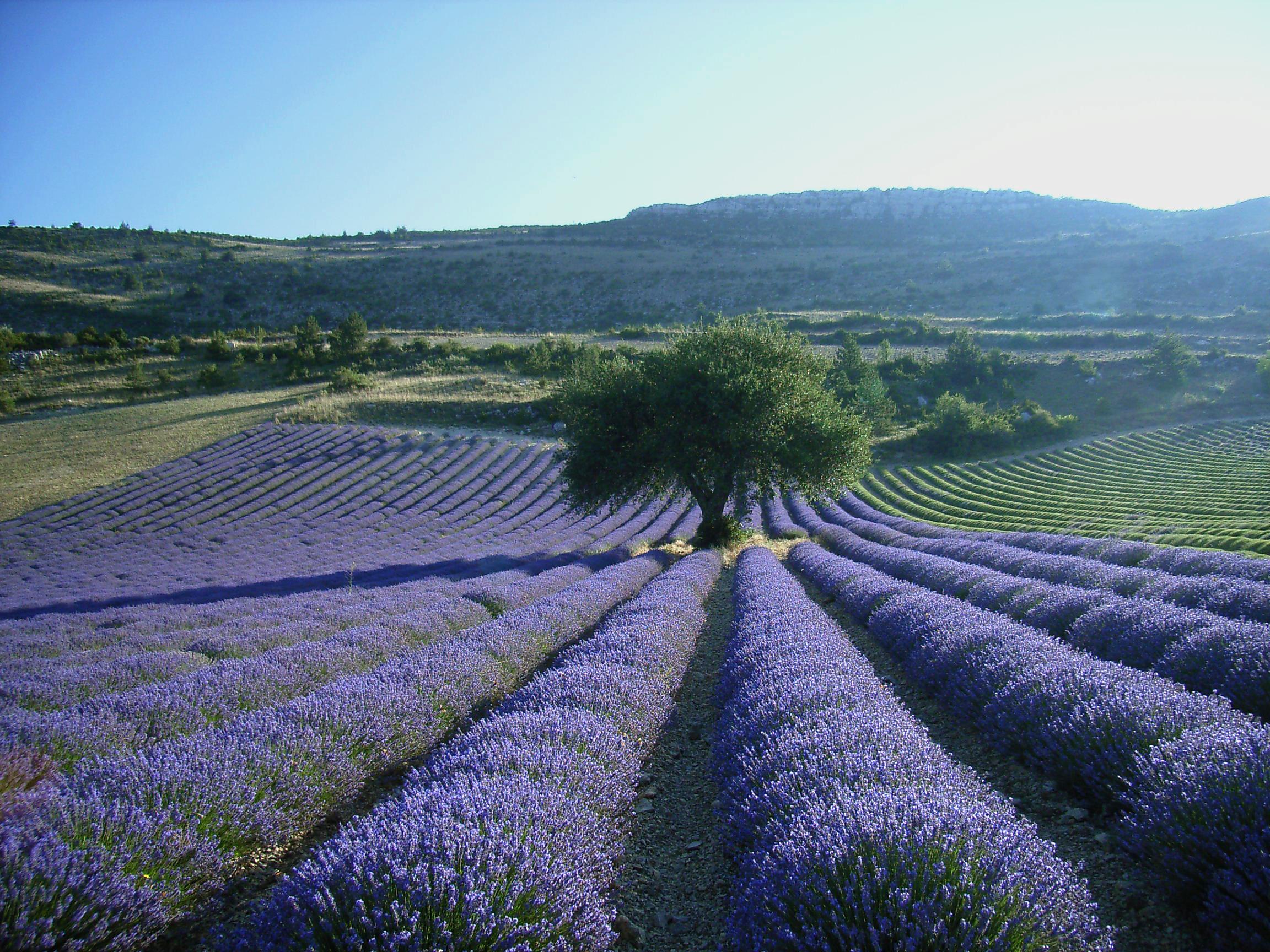Excursions lavender in provence - Arbre provencal ...