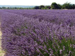 lavender in Luberon