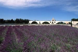 pont_avignon_lavande