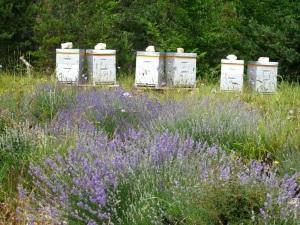 lavande ruche